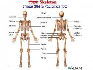 206 עצמות בשלד